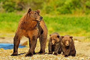Grizzly Bear (Ursus arctos horribilis) mother with two young cubs. Katmai, Alaska, USA, August.  -  Andy Rouse