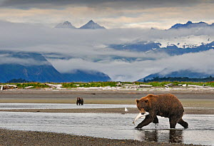 Grizzly Bear (Ursus arctos horribilis) with caught salmon, another bear more distant, with mountains backing the scene. Katmai, Alaska, USA, August. - Andy Rouse
