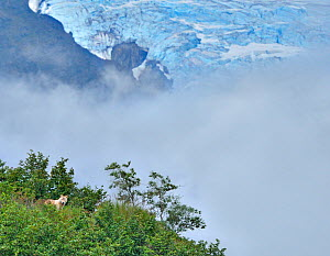 Grey Wolf (Canis lupus) with clouds and a glacier in the distance. Katmai, Alaska, USA, August.  -  Andy Rouse