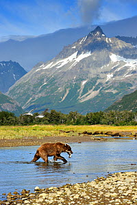 Grizzly Bear (Ursus arctos horribilis) walking through a river with caught salmon against a mountainous landscape as two gulls fly past. Katmai, Alaska, USA, August. - Andy Rouse