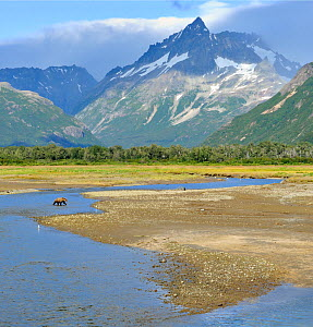 Solitary Grizzly Bear (Ursus arctos horribilis) in expansive mountain landscape. Katmai, Alaska, USA, August.  -  Andy Rouse
