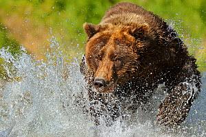 RF- Grizzly Bear (Ursus arctos horribilis) chasing through water after salmon. Katmai, Alaska, USA, September. (This image may be licensed either as rights managed or royalty free.)  -  Andy  Rouse