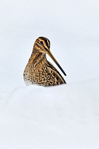 Snipe (Gallinago gallinago) in snow. Wales, UK, December.  -  Andy Rouse