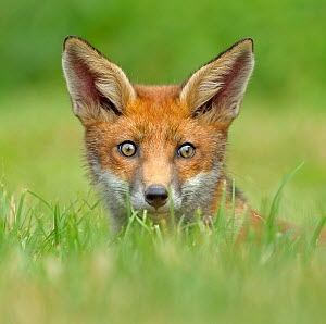 Red Fox (Vulpes vulpes) cub seen over grass. Controlled conditions. UK, Europe, July. Not available for ringtone/wallpaper use.  -  Andy Rouse