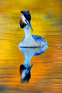 Great Crested Grebe (Podiceps cristatus) on water. Wales, UK, Europe, June.  -  Andy Rouse