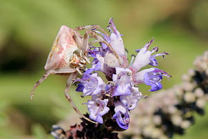 Pink / Heather Crab Spider (Thomisus onustus) camouflaged in wait for insect prey on blue flowers. Lesbos / Lesvos, Greece, August.  -  Nick Upton