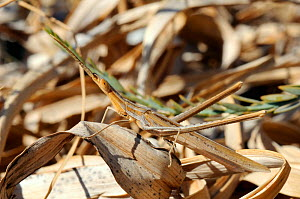 Nosed Grasshopper / Mediterranean Slant-faced Grasshopper (Acrida ungarica mediterranea) camouflaged amongst dry leaves. Lesbos / Lesvos, Greece, August.  -  Nick Upton