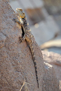 Starred Agama / Stellion (Laudakia stellio stellio) clinging to a rock. Lesbos / Lesvos, Greece, August.  -  Nick Upton