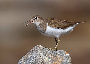 Common Sandpiper (Actitis hypoleucos) perched on rock, calling, Ristiina, Finland, May  -  Markus Varesvuo