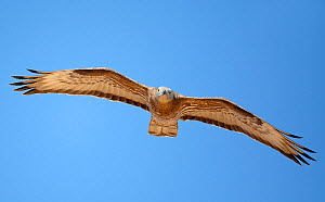 Honey Buzzard (Pernis apivorus) in flight, Israel, May - Markus Varesvuo