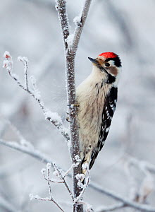 Lesser Spotted Woodpecker (Dendrocopos minor)perched on branch in snow, Kuusamo, Finland, January - Markus Varesvuo