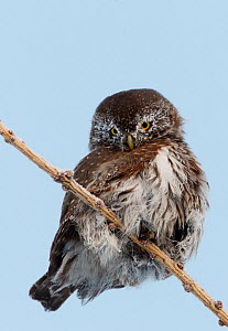 Pygmy Owl (Glaucidium passerinum) perched, looking down, Kuusamo, Finland, January  -  Markus Varesvuo