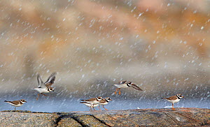 Ringed Plover (Charadrius hiaticula) flock flying and landing in rain, Finland, August - Markus Varesvuo