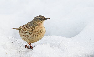 Rock Pipit (Anthus petrosus) on snow, Finland, April  -  Markus Varesvuo