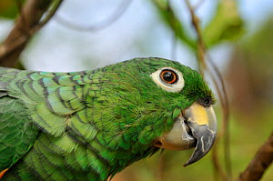 Mealy Amazon Parrot (Amazona farinosa) head in profile. French Guiana, August.  -  Daniel Heuclin