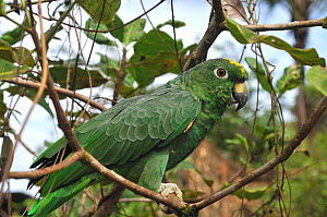 Mealy Amazon Parrot (Amazona farinosa) perched in tree. French Guiana, August.  -  Daniel Heuclin