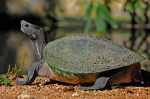 Malayan Painted Turtle (Callagur borneoensis) basking in sun. Captive. Endemic to South East Asia. - Daniel Heuclin
