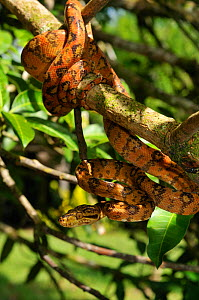 Common / Amazon Tree Boa (Corallus hortulanus) coiled around a branch in strike-ready pose. Controlled conditions. French Guiana, August.  -  Daniel Heuclin