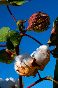 Upland Cotton (Gossypium hirsutum) with maturing bolls. Near Buckeye, Arizona, USA, September. - Daniel Heuclin