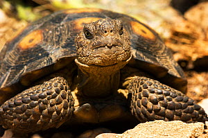 Portrait of a Desert Tortoise (Gopherus agassizii). Controlled conditions. Foothills of Catalina mountains, Arizona, October.  -  Daniel Heuclin