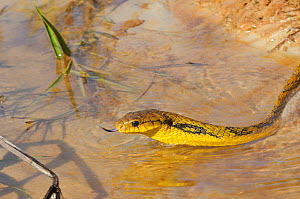 Yellow-bellied Puffing Snake (Pseustes sulphureus) tasting the air as it moves through water. French Guyana, August.  -  Daniel Heuclin