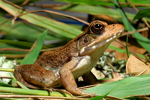 Bronze / Green Frog (Rana clamitans clamitans) resting on vegetation. Controlled conditions. Eastern Texas, USA, November.  -  Daniel Heuclin