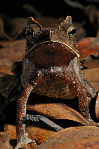 Portrait of a Crested Forest Toad (Rhinella margaritifer). Controlled conditions. French Guyana, August.  -  Daniel Heuclin