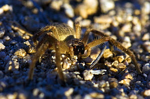 Giant Crab Spider / Golden Huntsman (Olios fasciculatus / giganteus) close-up showing large pedipalps. Oliver Lee State Park, New-Mexico, October.  -  Daniel Heuclin