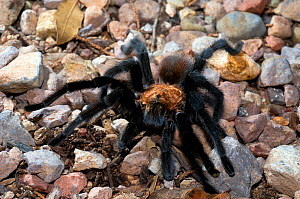 Bird Spider or Tarantula (Aphonopelma) male. Oliver Lee State Park, New Mexico, August.  -  Daniel Heuclin