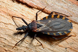 Vinchuca (Triatoma infestans) adult. The bug is a blood feeder, and vector of Chagas disease. Controlled conditions. Bolivia, April.  -  Daniel Heuclin