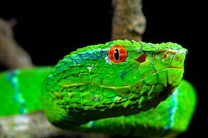 Portrait of Wagler's / Temple Pitviper (Tropidolaemus wagleri) showing the thermo-receptive pit organ between the eye and mouth. Controlled conditions. Mindanao, Philippines, February.  -  Daniel Heuclin