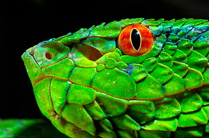 Wagler's / Temple Pitviper (Tropidolaemus wagleri) in profile, showing the thermo-receptive pit organ between the eye and mouth. Controlled conditions. Mindanao, Philippines, February.  -  Daniel Heuclin