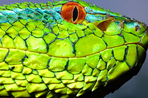 Wagler's / Temple Pitviper (Tropidolaemus wagleri) head in profile showing the thermo-receptive pit organ between the eye and mouth. Controlled conditions. Mindanao, Philippines, February.  -  Daniel Heuclin
