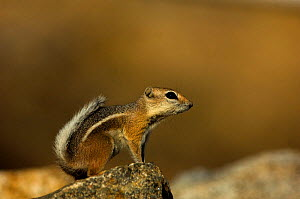 Whitetail Antelope Squirrel (Ammospermohilus leucurus) perched on a rock. Joshua's Tree National Park, California, USA, October. - Daniel Heuclin
