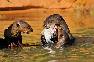 Giant Otter / Giant Brazilian Otter (Pteronura brasiliensis) adult eating a piranha, with two cubs grabbing scraps. The Pantanal wetlands of Mato Grosso State, Brazil, October. - Luiz Claudio Marigo