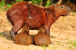 Capybara (Hydrochoeris hydrochaeris) mother with two suckling infants. The Pantanal wetlands of Mato Grosso State, Brazil, October.  -  Luiz Claudio Marigo