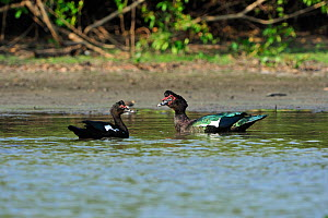Muscovy Duck (Cairina moschata) on water with juvenile. The Pantanal wetlands of Mato Grosso State, Brazil, October.  -  Luiz Claudio Marigo