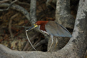 Rufescent Tiger Heron (Tigrisoma lineatum) with snake prey. The Pantanal wetlands of Mato Grosso State, Center-West of Brazil. - Luiz Claudio Marigo