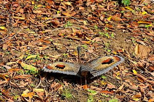 Sunbittern (Eurypyga helias) showing eyespots - visible when wings spread - used for threat and courtship displays. The Pantanal wetlands of Mato Grosso State, Center-West of Brazil.  -  Luiz Claudio Marigo