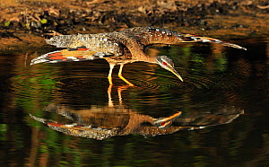 Sunbittern (Eurypyga helias) spreading its wings while standing in water. The Pantanal wetlands of Mato Grosso State, Brazil, November.  -  Luiz Claudio Marigo