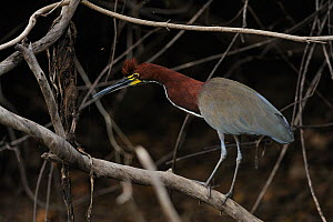 Rufescent Tiger Heron (Tigrisoma lineatum) perched among branches. The Pantanal wetlands of Mato Grosso State, Brazil, November.  -  Luiz Claudio Marigo