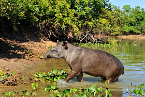 Brazilian Tapir (Tapirus terrestris) wading from the Pixaim River, in Pantanal Wildlife Center. The Pantanal wetlands of Mato Grosso State, Brazil, November. - Luiz Claudio Marigo