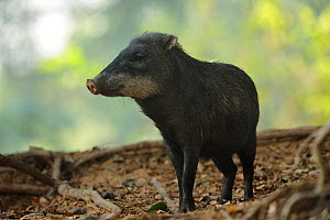 White-lipped Peccary (Tayassu pecari / albirostris) standing on the forest floor. The Pantanal wetlands of Mato Grosso State, Center-West of Brazil. - Luiz Claudio Marigo