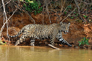 Female Jaguar (Panthera onca palustris) on the shore of Piquiri River. The Pantanal wetlands of Mato Grosso State, Brazil, October. - Luiz Claudio Marigo
