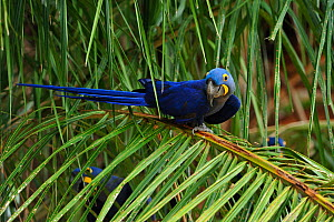 Hyacinth Macaw (Anodorhynchus hyacinthinus) perched on the leaves of the Acuri palm tree (Scheelea phalerata), the main item of its diet. Endangered species. The Pantanal wetlands of Mato Grosso State...  -  Luiz Claudio Marigo