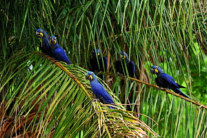 Hyacinth Macaws (Anodorhynchus hyacinthinus) perched on the leaves of the Acuri palm tree (Scheelea phalerata), the main item of its diet. Endangered species. The Pantanal wetlands of Mato Grosso Stat...  -  Luiz Claudio Marigo
