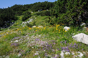 Colourful mix of Alpine wild flowers including Alpine calamint (Acinos alpinus) Creeping baby's breath (Gypsophila repens) and Yellow oxeye daisies (Buphthalmum salicifolium) growing on karst limeston...  -  Nick Upton