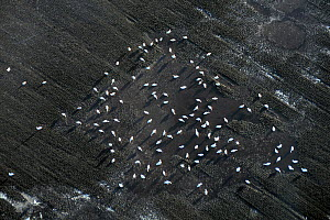 Aerial view of Bewick's swans (Cygnus columbianus) feeding in flooded, partly frozen ploughed field, fenland near Lakenheath, Suffolk, UK, January.  -  Nick Upton