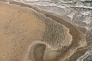 Aerial view of a dense flock of Great Cormorants (Phalacrocorax carbo) resting on a sandbank at Scroby Sands along with a mixed species flock of gulls including Greater black-backed gulls (Larus marin... - Nick Upton
