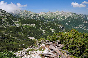 Dwarf pine trees (Pinus mugo) covering mountainside between 1500-1900m in the Julian Alps near Mount Vogel, with several c2000m high peaks in the background, Triglav National Park, Slovenia, July 2010...  -  Nick Upton